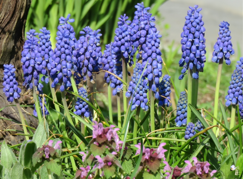 2018-04-17 Lüchow, Garten am Morgen, Traubenhyazinthen (Muscari armeniacum)